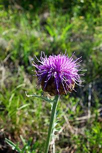 野生花卉:祁州漏芦
