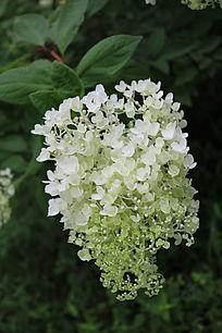 一串清新白色的花
