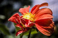 一朵盛开的橙色大丽花