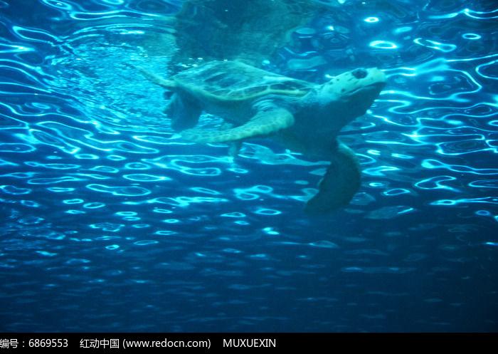 原创摄影图 动物植物 水中动物 游在海里的海龟