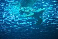 游在海里的海龟