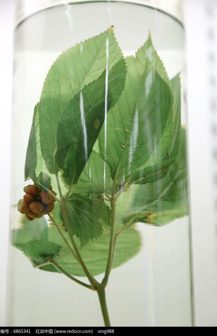 中药材西洋参叶子高清图片下载 红动网