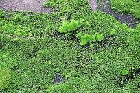 翠绿的青苔