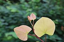绿色背景的树叶