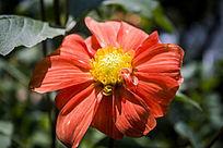 一朵红色的小丽花