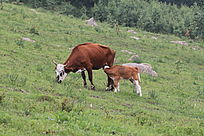 在山坡上进食的母子