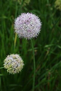 刺儿菜紫白色的花球