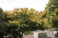 翠绿的枫树