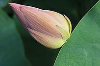 荷叶与一只粉色的花蕾
