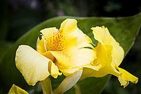 黄色的美人蕉