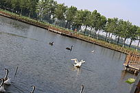 两只黑天鹅展翅的白天鹅大雁