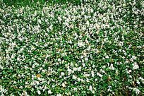 绿草地小白花
