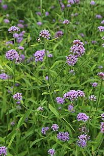 盛开的粉紫色八仙花