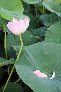 盛开的芙蕖与荷叶上的花瓣水珠