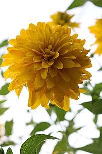 一朵盛开的黄色花朵