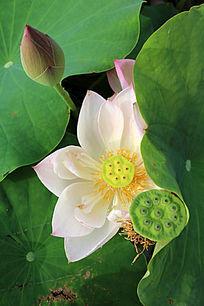 一朵盛开的牡丹荷与莲蓬花苞