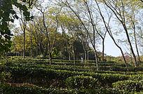 茶园树木风景图片