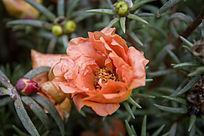 橙色的太阳花