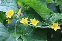 黄瓜花藤蔓