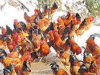 混杂的鸡群
