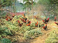沙树中的鸡群