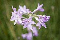 盛开的紫娇花