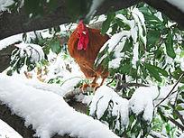 树缝中的雪公鸡