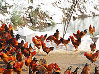水边的鸡群