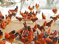 水边雪地上的鸡