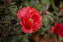 一朵红色的太阳花