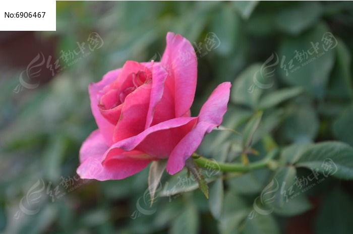 一朵玫瑰花花朵特写图片
