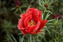 一盛开的红色太阳花