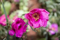 雨中的两朵紫色太阳花