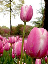 粉色郁金香花苞