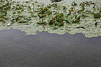 河道小鱼睡莲