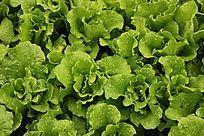绿色有机蔬菜