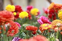 满园牡丹花背景图片