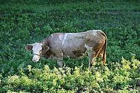 一头大牛青草