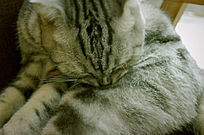 坐在椅子上舔自己的小猫