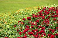 草地鸡冠花
