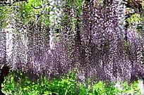 垂直的紫藤花