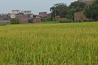 金色的稻田风景图片