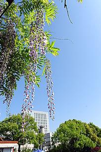 空中的紫藤