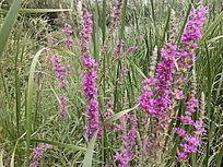 林间唯美紫花束