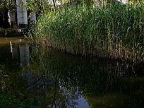 芦苇 草丛