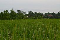 水稻田野风景图片