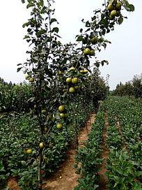 田间果实累累的梨树