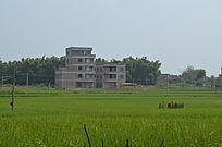 田野水稻风景图片