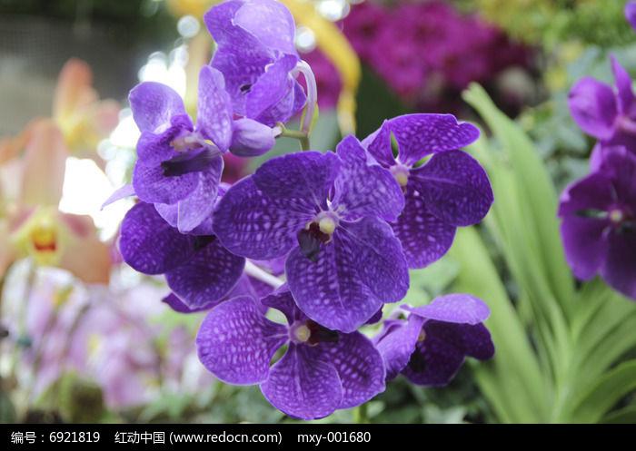 微距静物紫色蝴蝶兰图片