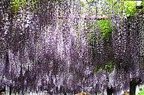 阳光紫藤花